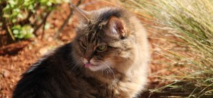 close up of cat with tongue sticking out