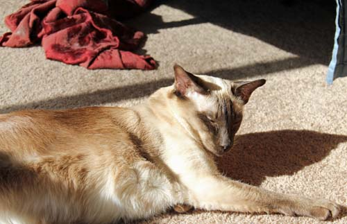 Stretched out Siamese