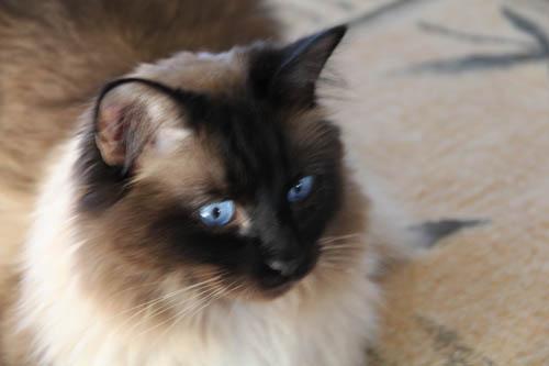 A fluffy Siamese cat with big blue eyes